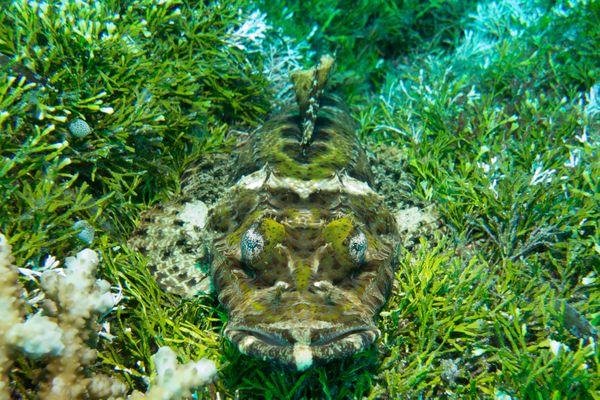 Camouflage Behavior of Corcodile Flathead thumbnail