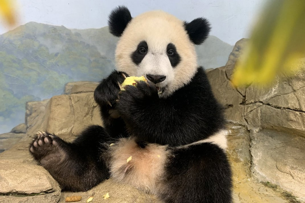 Giant panda cub Xiao Qi Ji sits on a rock eating a piece of food held in his paws