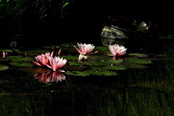Water Lilies  thumbnail