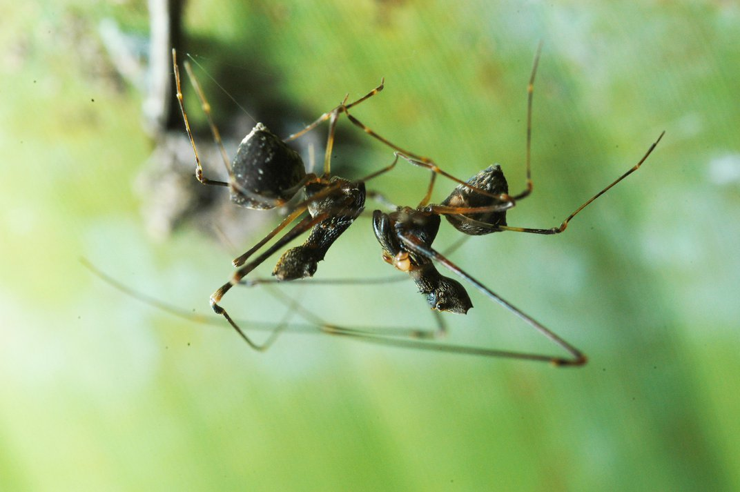 Madagascar's Ancient 'Pelican Spiders' Are As Striking As They Are Strange
