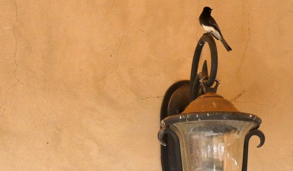 A Black Phoebe atop an outdoor light thumbnail
