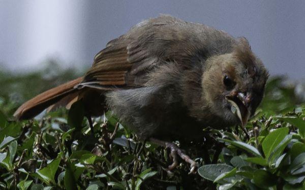 Juvenile male cardinal-- thumbnail