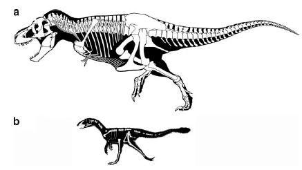 20110520083134tyrannosaurus-dilong-compare.jpg