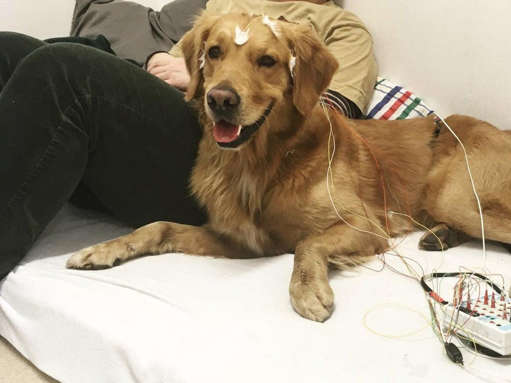 Photo of a relaxed, golden retriever-like dog with electrodes taped to its head