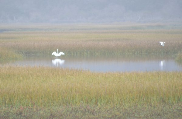 Great egrets in the early morning fog thumbnail