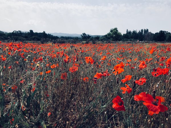 Field of Poppies thumbnail