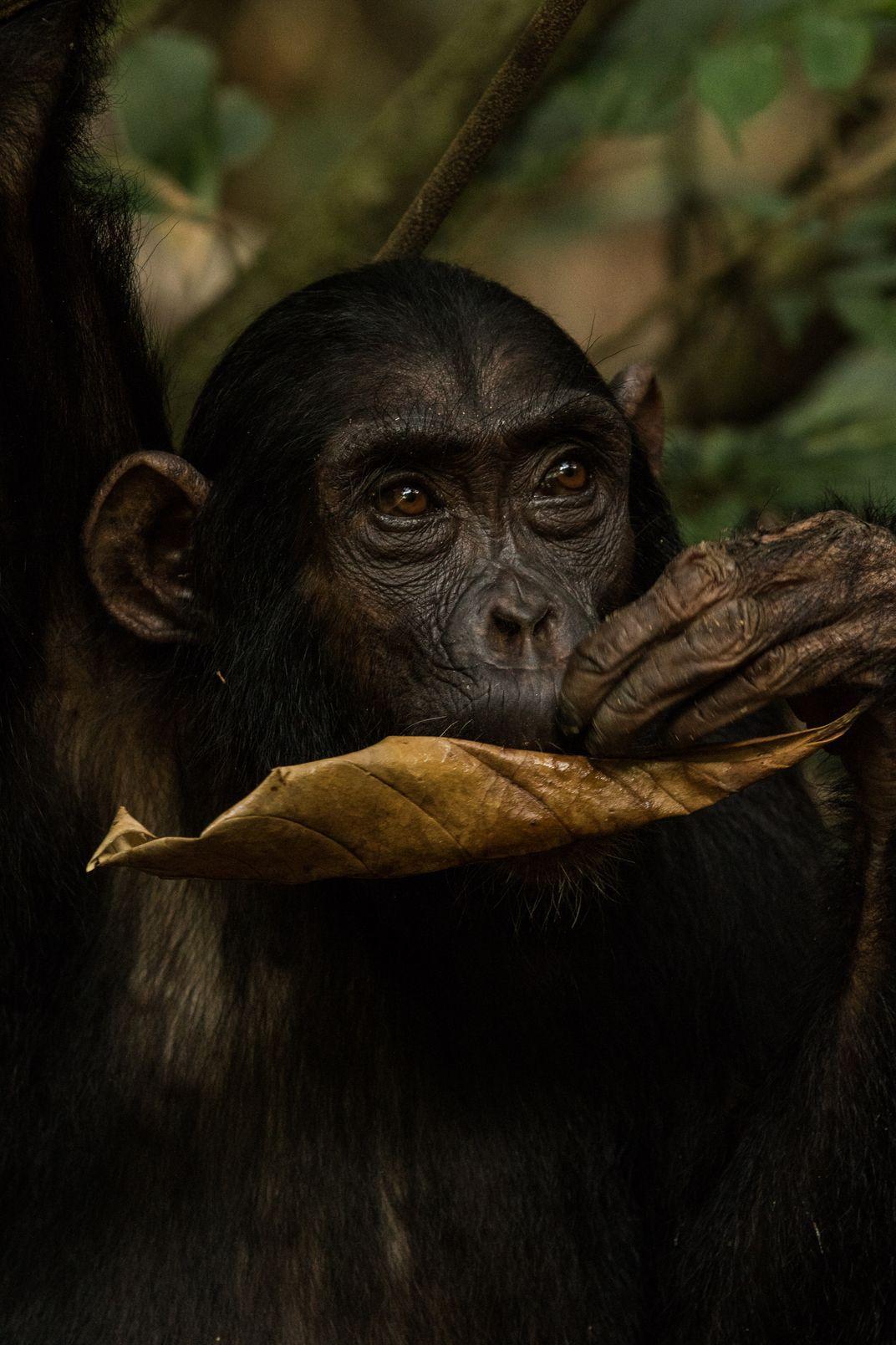Grooming Chimps | Will Burrard-Lucas