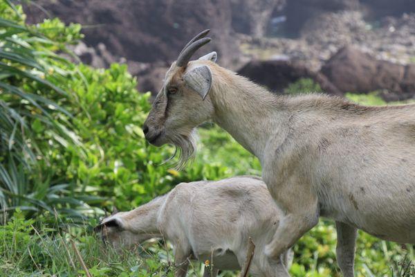 Goat thumbnail