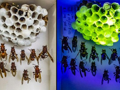 Asian paper wasp nests take on a new verdant glow under ultraviolet light.