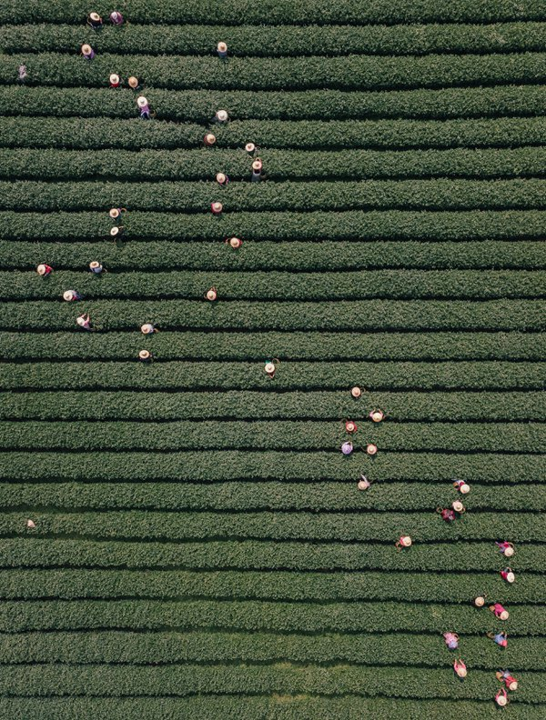 Constellation Of Dragon Well Tea Pickers In The Universe Of Tea thumbnail