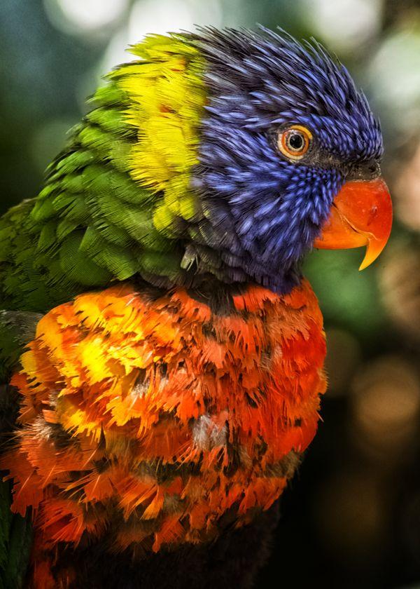 Rainbow Parrot thumbnail