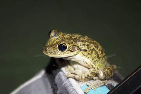 Florida Tree Frog thumbnail