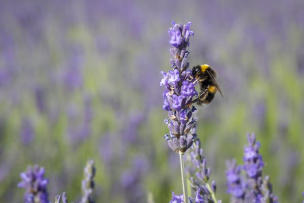 Bee in a Lavender field thumbnail