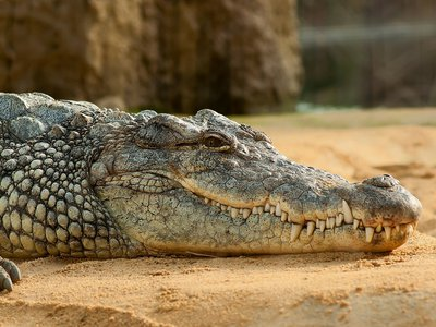 Fossil remains of crocodiles from as early as the Jurassic period show identifying characteristics in modern crocodiles