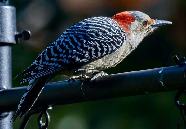 Red-bellied woodpecker thumbnail