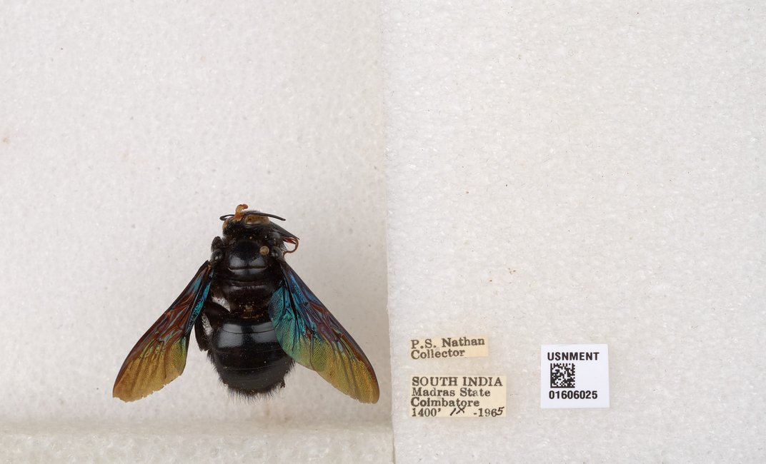 A carpenter bee pinned to styrofoam with three labels including the name of the collector, where it was found and a QR code.