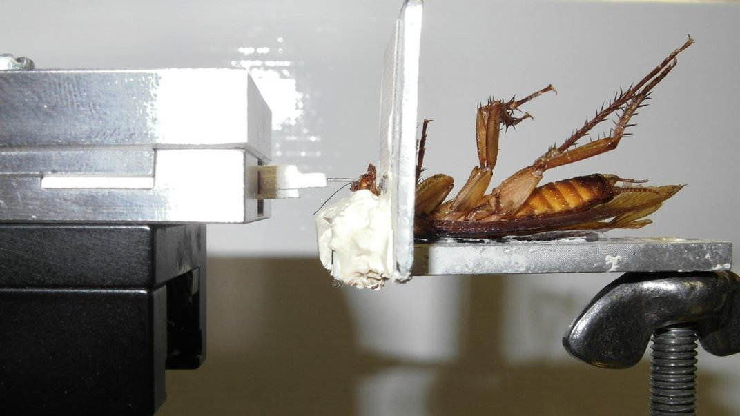 A Cockroach Can Bite With a Force 50 Times Its Body Weight