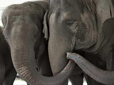 Elephants Kelly Ann and Mable are eligible to move to the White Oak Conservation Center north of Jacksonville, Florida.