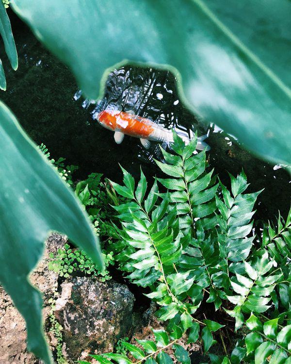 Gold Fish at the Oak Park Conservatory  thumbnail