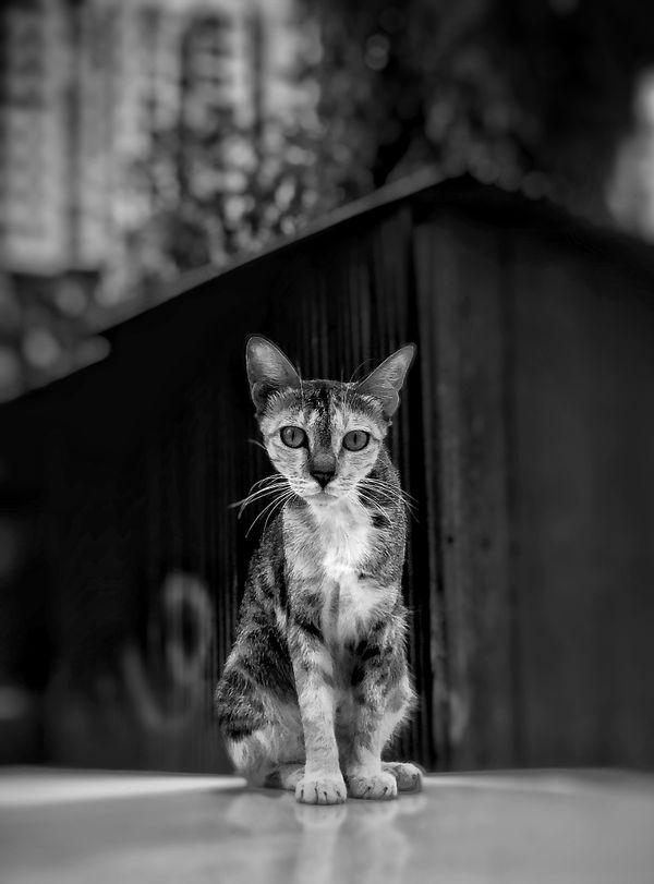 A Street cat Portrait thumbnail