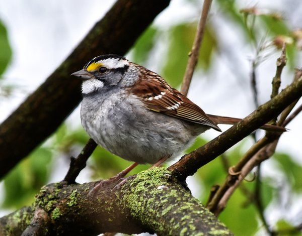White-Throated Sparrow thumbnail