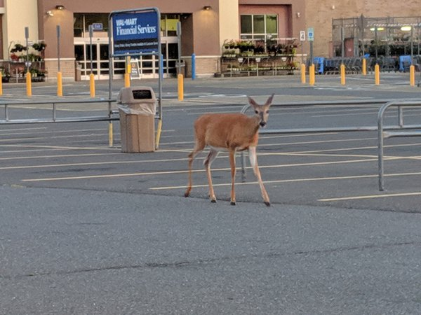 Deer in Walmart Parking Lot thumbnail