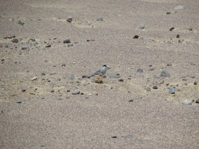 The Peruvian tern's desert camouflage makes it almost impossible to track, but that's exactly what our research team set out to do. It would take us four months to survey more than 1,851 acres for the bird, battling sandstorms, stifling heat and impossible landscapes inside Paracas National Reserve — terrain that the tern has mastered.