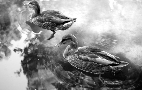 Ducks at Lions Park in College Place thumbnail
