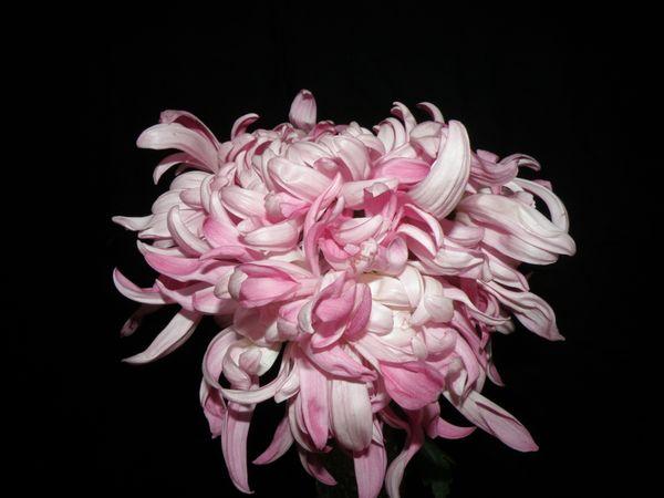 A pink chrysanthemum flower thumbnail