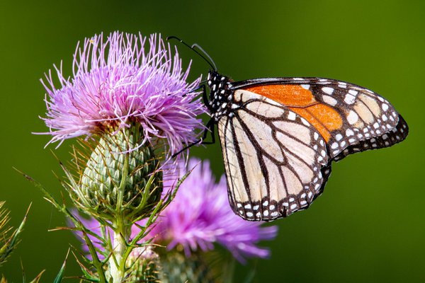 Monarch on Thistle thumbnail