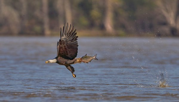 Bald Eagle with take out dinner thumbnail