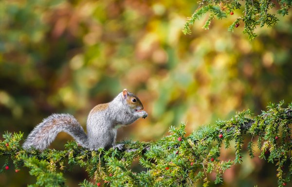Grey Squirrel  thumbnail
