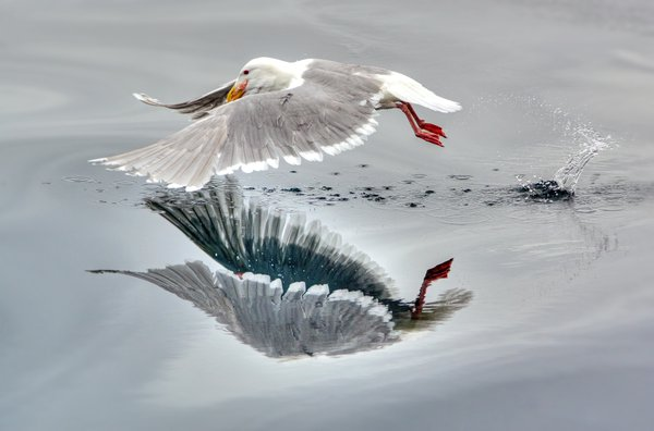 A seagull after takeoff from an unusually placid Bering Sea thumbnail
