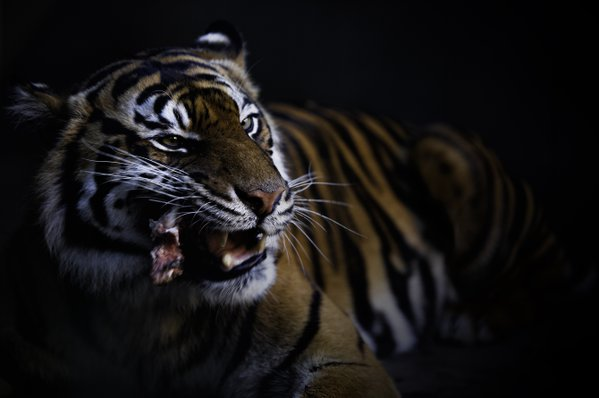 A Tiger's Lunch thumbnail