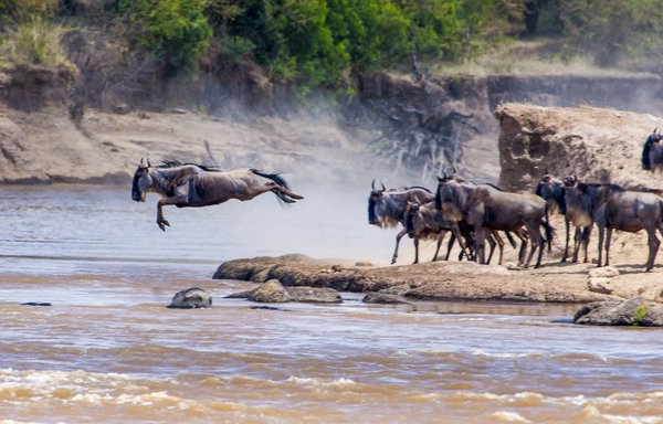 Leaping Wildebeasts thumbnail