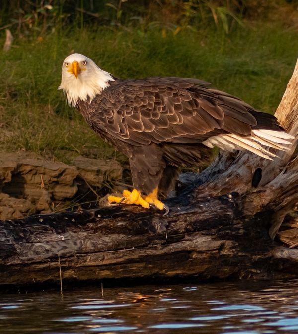 Bald Eagle 5 thumbnail