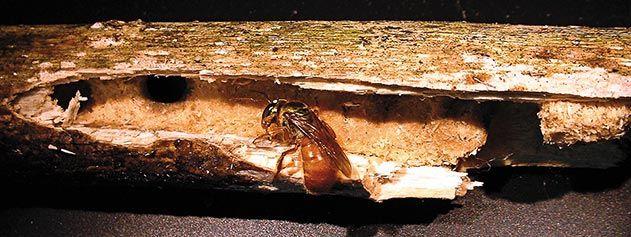Megalopta genalis bee