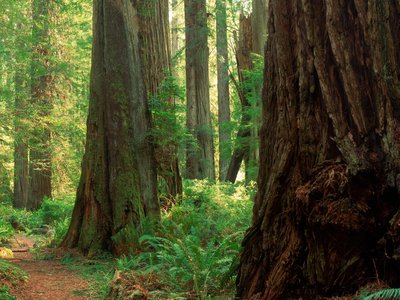 """For tree poachers, sometimes known as """"midnight burlers,"""" redwoods can present a lucrative opportunity for theft. New research recommends ways to deter this hard-to-trace wildlife crime."""