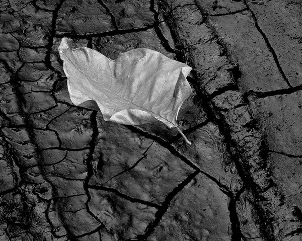 Cucumber Tree Leaf on Cracked Mud thumbnail