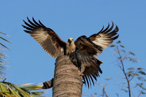 Mottled Wood Owl and Brahminy kite(imm) in  fight thumbnail