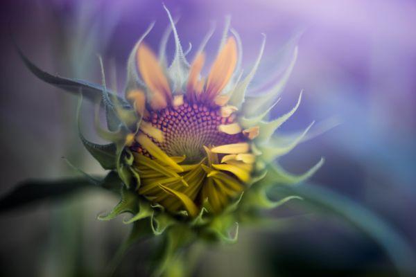 Emerging Sunflower thumbnail