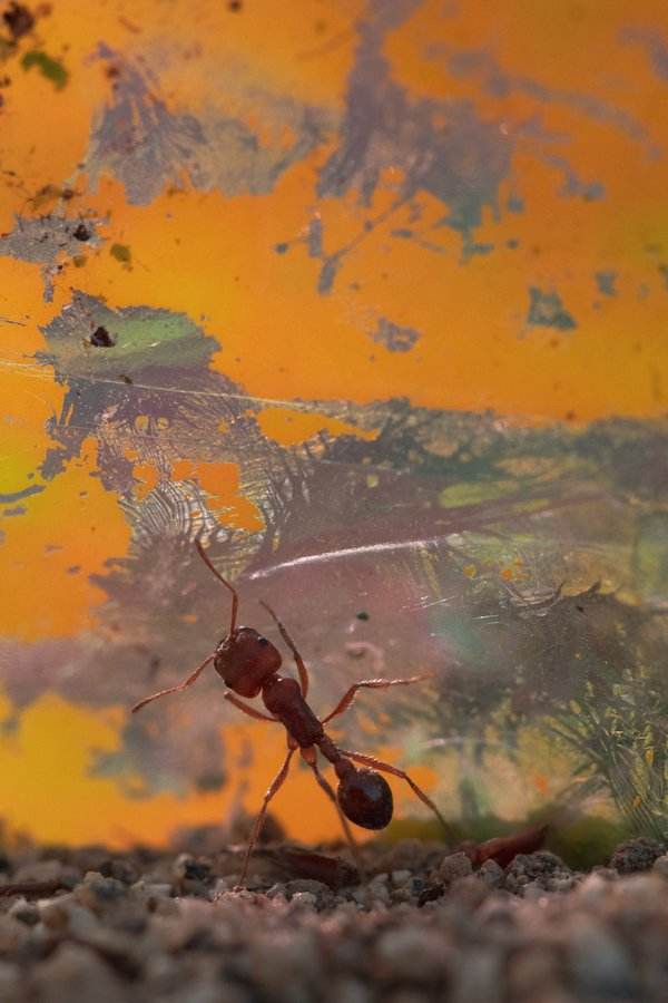 Harvester Ant Against Yellow Paper thumbnail