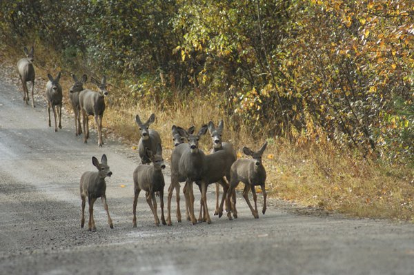 a dozen deer posing for a picture thumbnail