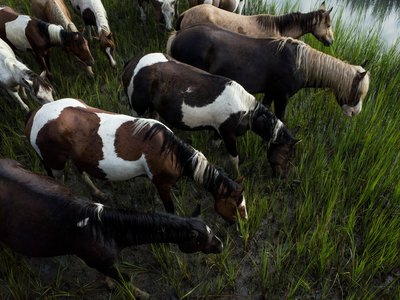 Chincoteague ponies take a moment to graze after swimming across the Assateague Channel in 2015.