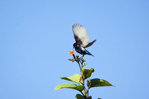 A male sunbird perched on the flowerhead of a Scarlet Cordia Tree with his wings fanned out and the feathers shimmering against the blue sky in Dubai thumbnail