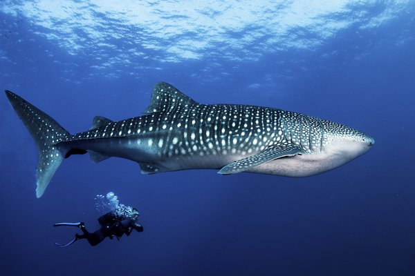whale shark and Philippe thumbnail