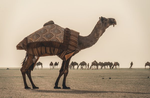 Camels on Dust storm thumbnail