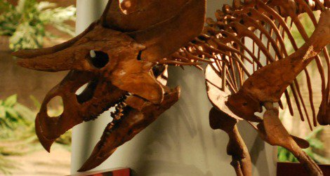 Two-horned face: a reconstruction of Zuniceratops at the Arizona Museum of Natural History