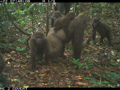A camera trap image of a Cross River gorilla with multiple babies, taken in the Mbe mountain region of Nigeria on June 22, 2020