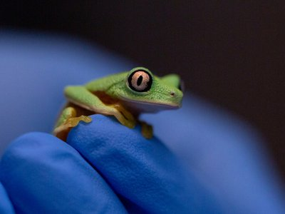 Lemur leaf frogs, best known for their big, striking eyes, are critically endangered.